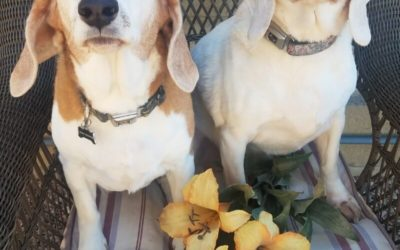 Beagles, & Hounds, & Rescues, Oh My!