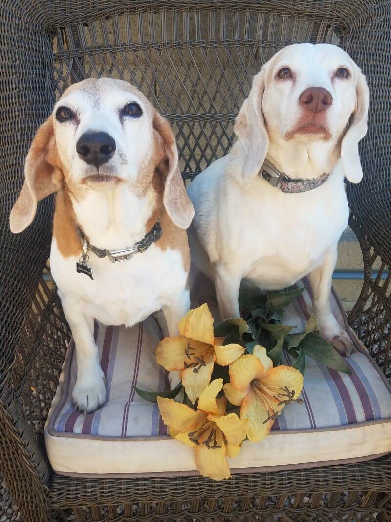 Beagles & Hounds & Rescues, Oh My!