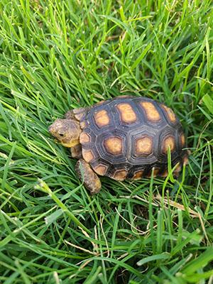 Arizonans adopt tort-ally awesome pets through the state's Desert Tortoise Adoption Program.